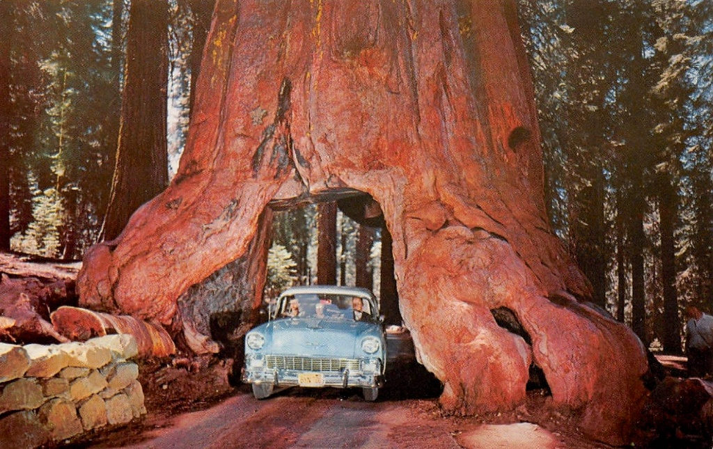 Redwood Tree You Can Drive A Car Through