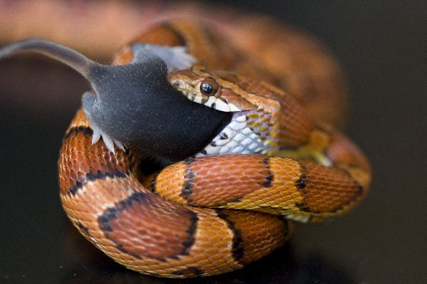 Pet_Snake_Eating_a_Mouse_600
